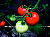growing tomatoes project